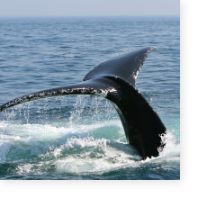 Whale Watching—Punta Mita Luxury Resorts, Los Veneros